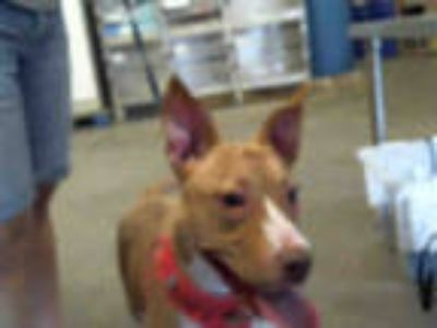 Adopt DIRK a Tan/Yellow/Fawn - with White American Pit Bull Terrier / Mixed dog