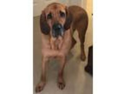 Adopt Silas a Brown/Chocolate - with Black Bloodhound / Mastiff / Mixed dog in