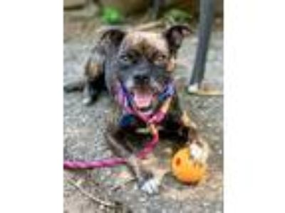 Adopt Tansy KY a Pug / Beagle / Mixed dog in Boonton, NJ (25615486)