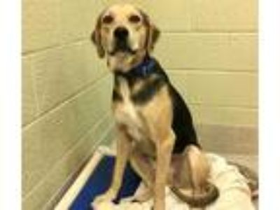 Adopt BUCK a Black - with Tan, Yellow or Fawn Hound (Unknown Type) / Mixed dog