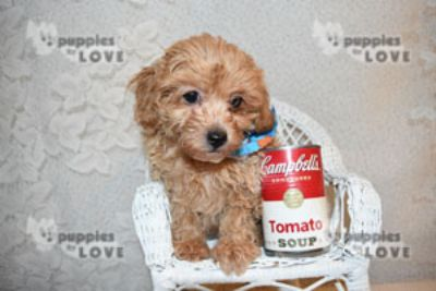 Shih Tzu-Poodle (Toy) Mix PUPPY FOR SALE ADN-73439 - TOY SHIHPOO