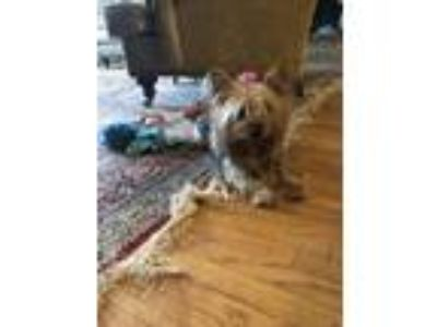 Adopt Bunny Lou a Yorkshire Terrier
