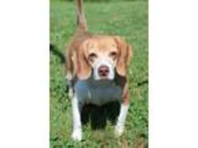 Adopt Mauro a Tricolor (Tan/Brown & Black & White) Beagle / Mixed dog in