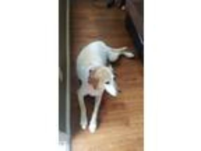 Adopt Brutus a White - with Tan, Yellow or Fawn Labrador Retriever / Mixed dog
