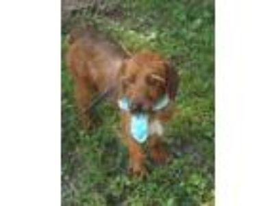 Adopt Sloopy a Red/Golden/Orange/Chestnut Terrier (Unknown Type