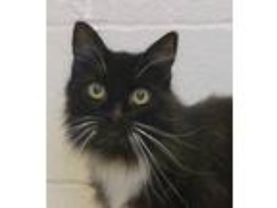 Adopt FIRTSY a All Black Domestic Mediumhair / Domestic Shorthair / Mixed cat in