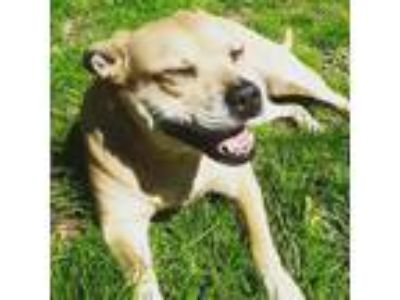 Adopt Amber a Tan/Yellow/Fawn American Pit Bull Terrier dog in Toledo
