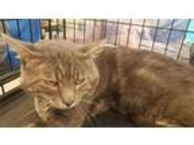 Adopt Ricky a Domestic Shorthair / Mixed cat in Battle Ground, WA (25411919)