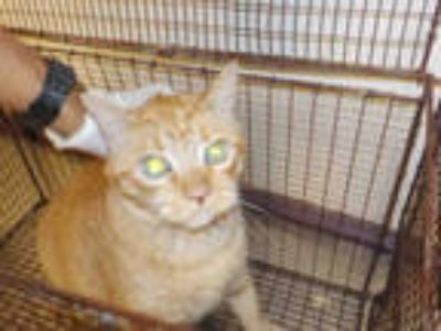 Adopt POKEY a Orange or Red Tabby Domestic Mediumhair / Mixed (medium coat) cat