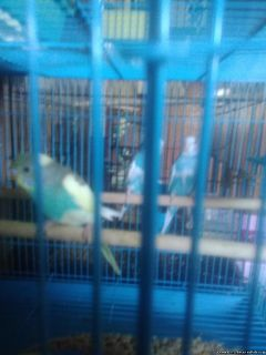 Parakeets for sale 7 weeks old