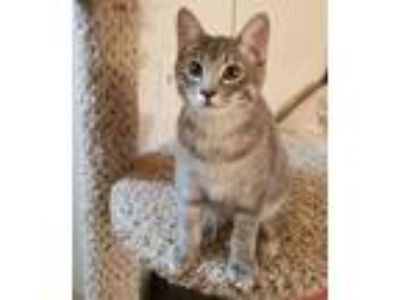 Adopt Blue Bell a Domestic Short Hair