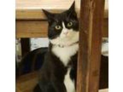 Adopt Tash & Puddles (bonded pair) (js) a Tuxedo