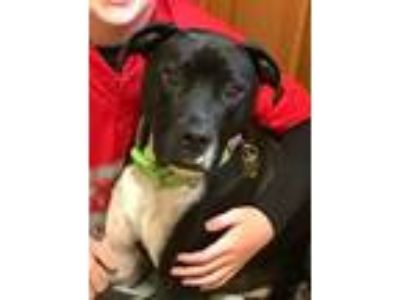 Adopt Wallace a Black - with White Labrador Retriever / Mixed dog in Pennington