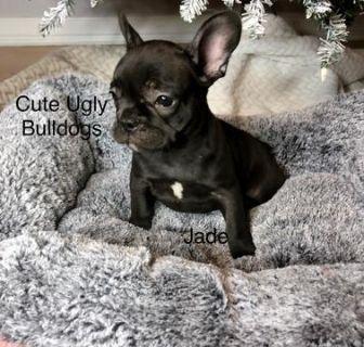 French Bulldog PUPPY FOR SALE ADN-105032 - Jade  French Bulldog