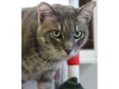 Adopt Storm a Domestic Short Hair