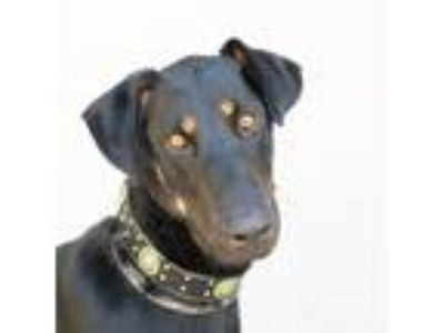 Adopt Desmond a Doberman Pinscher / German Shepherd Dog / Mixed dog in Dublin