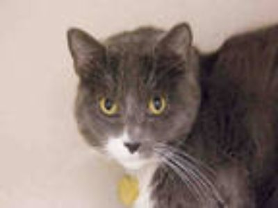 Adopt ROBBIE a Gray or Blue (Mostly) Domestic Shorthair / Mixed (short coat) cat