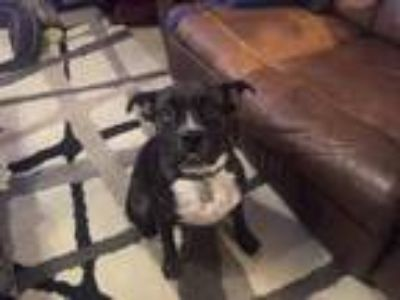 Adopt Shelby a Brindle Boxer / American Pit Bull Terrier / Mixed dog in Phoenix