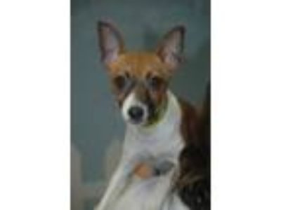 Adopt Vienna a Toy Fox Terrier