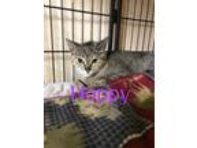 Adopt Hoppy a Domestic Short Hair