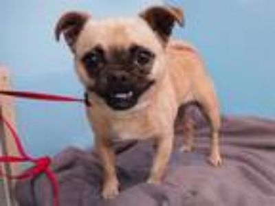 Adopt Frankie a Pug, Mixed Breed