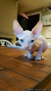 blue eyes Sphynx kitten