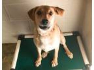 Adopt Honey a Labrador Retriever, Mountain Cur