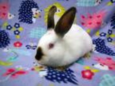 Adopt Renton a Other/Unknown / Mixed (short coat) rabbit in Scotts Valley