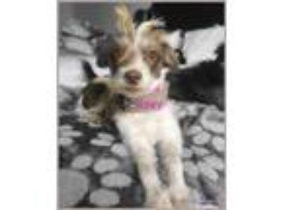 Adopt Zoe a Terrier