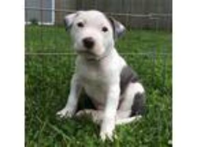 Adopt Spider a Pit Bull Terrier, Mixed Breed