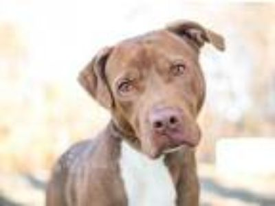Adopt Scooby a Tan/Yellow/Fawn American Pit Bull Terrier / Mixed dog in