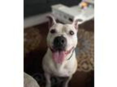 Adopt Honey a White - with Tan, Yellow or Fawn Pit Bull Terrier / Mixed dog in