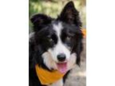 Adopt Jenny a Border Collie / Mixed dog in Madison, GA (25501467)