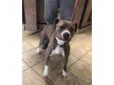 Adopt Lola a Staffordshire Bull Terrier / Mixed dog in Canon City, CO (25292019)