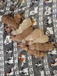 Goldendoodle PUPPY FOR SALE ADN-74902 - Godlendoodle puppies for sale