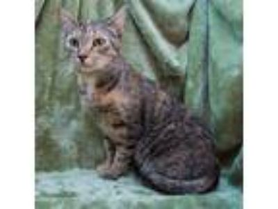 Adopt Matilda a Spotted Tabby/Leopard Spotted American Shorthair / Mixed cat in