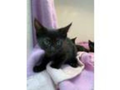 Adopt Azure a All Black Domestic Shorthair / Domestic Shorthair / Mixed cat in