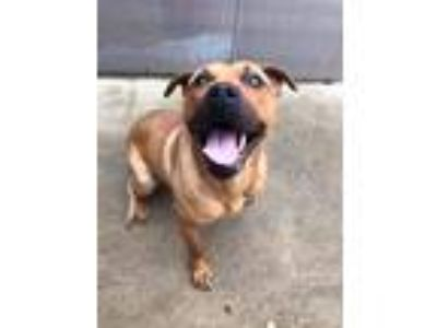 Adopt Turnip a Tan/Yellow/Fawn - with Black Pit Bull Terrier / Mixed Breed