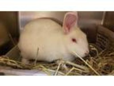 Adopt Kiwi a White Other/Unknown / Other/Unknown / Mixed rabbit in Corvallis