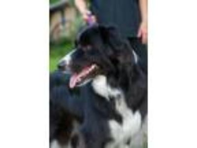 Adopt Ryder a Border Collie