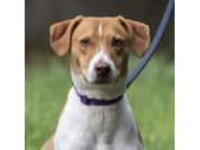 Adopt Champ a Hound (Unknown Type) / Mixed dog in Silverdale, WA (25354168)