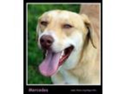 Adopt Mercedes a Retriever