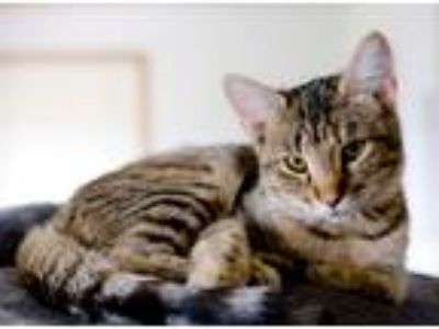 Adopt Comic a Gray, Blue or Silver Tabby Domestic Shorthair (short coat) cat in