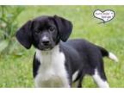 Adopt Ember a Black - with White Pointer / Mixed dog in Lee's Summit