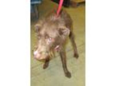 Adopt Pen 166 Trixie a German Wirehaired Pointer