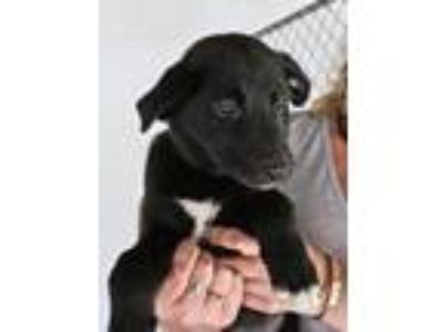 Adopt Helena - Avail NOW - CT a Black Retriever (Unknown Type) / Mixed dog in