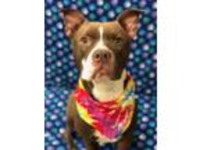 Adopt Godiva a Boxer, Pit Bull Terrier