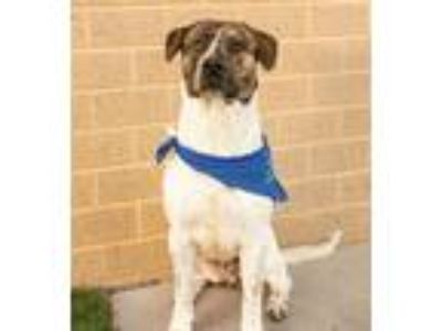 Adopt Cedric a White - with Brown or Chocolate German Shorthaired Pointer /