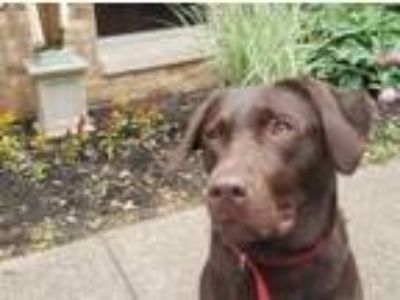 Adopt Mia a Chocolate Labrador Retriever