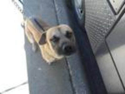 Adopt 41345883 a Tan/Yellow/Fawn Retriever (Unknown Type) / Black Mouth Cur /